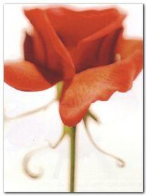 Rose plakat obraz 60x80cm
