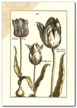 Tulipa Xvi plakat obraz 50x70cm (1)