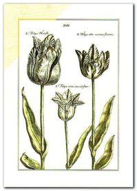 Tulipa Xvii plakat obraz 50x70cm