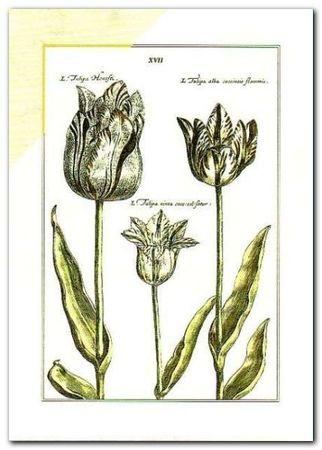 Tulipa Xvii plakat obraz 50x70cm (1)