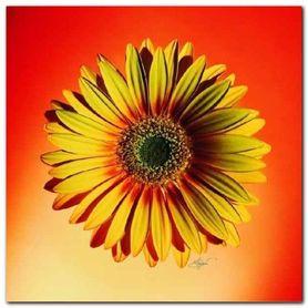 Yellow & Red Daisy plakat obraz 38x38cm