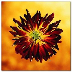 Red & Yellow Mum plakat obraz 38x38cm