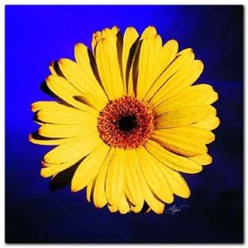 Yellow Daisy On Purple plakat obraz 38x38cm