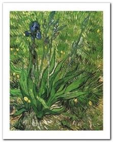 Irises plakat obraz 40x50cm