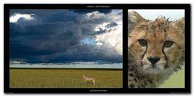 Cheetah And Storm plakat obraz 100x50cm