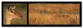 Impala And Leopard plakat obraz 95x33cm