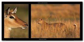 Impala And Leopard plakat obraz 100x50cm