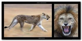 Lioness And Lion plakat obraz 100x50cm