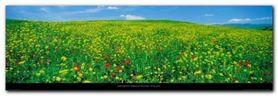 Field In Bloom Tuscany plakat obraz 95x33cm