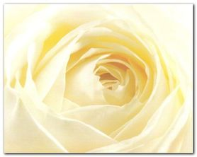 Study Of A White Rose plakat obraz 50x40cm