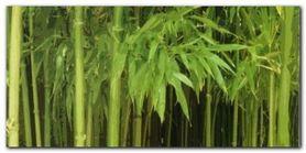 Bambu plakat obraz 100x50cm
