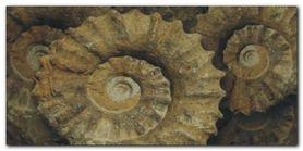 Fossil plakat obraz 100x50cm