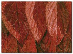Red Leaves plakat obraz 80x60cm