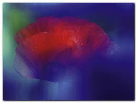 Mohn 2 plakat obraz 80x60cm (1)