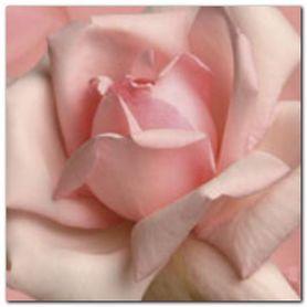Pink Rose plakat obraz 50x50cm