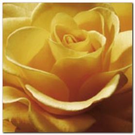 Yellow Rose plakat obraz 50x50cm