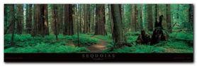 Sequoias plakat obraz 95x33cm