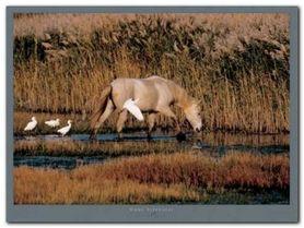 Equus Camargue plakat obraz 80x60cm