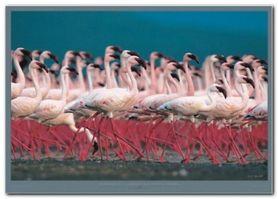 Flamingi plakat obraz 70x50cm