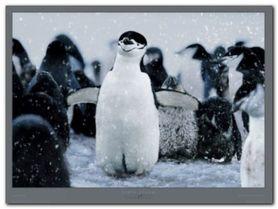 Pygoscelis Antarctica plakat obraz 80x60cm