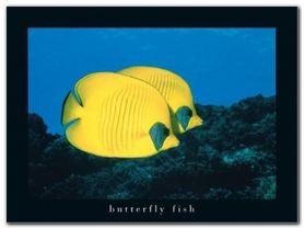 Butterfly Fish plakat obraz 40x30cm