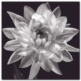 White Dahlia I plakat obraz 50x50cm