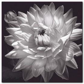 White Dahlia II plakat obraz 50x50cm