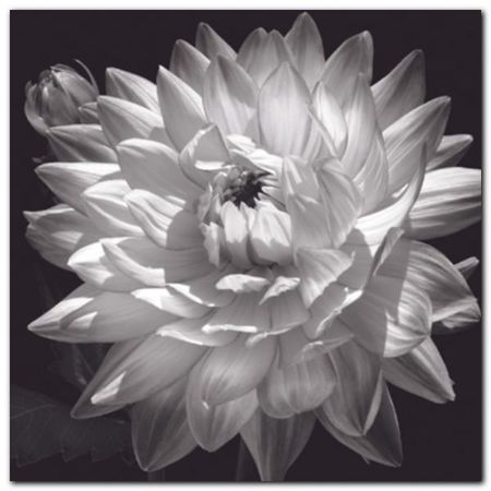 White Dahlia II plakat obraz 50x50cm (1)