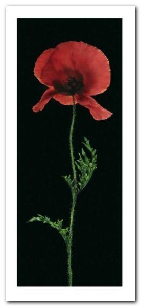 Poppy plakat obraz 23x50cm