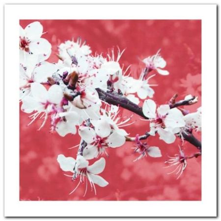 Blossom In Pink plakat obraz 50x50cm (1)