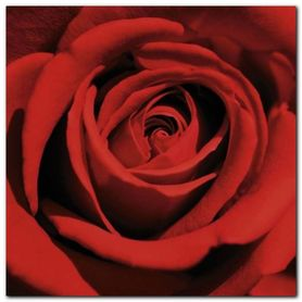 Red Rose plakat obraz 50x50cm