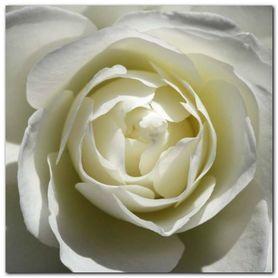 White Rose plakat obraz 50x50cm