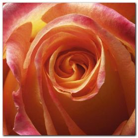 Orange Rose plakat obraz 50x50cm