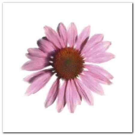Petales Roses IV plakat obraz 30x30cm (1)