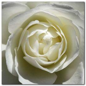 White Rose plakat obraz 30x30cm
