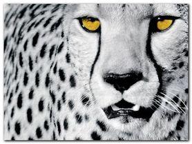White Cheetah plakat obraz 80x60cm