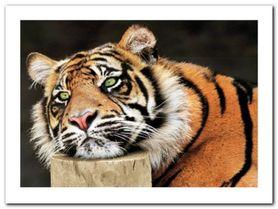 Lazy Tiger plakat obraz 80x60cm
