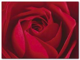 La Rose plakat obraz 80x60cm
