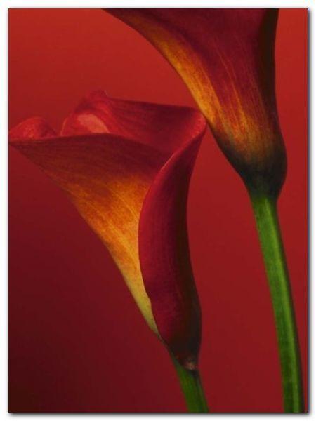 Red Calla Lilies plakat obraz 60x80cm (1)