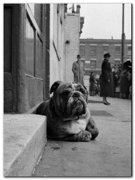 Lazy Bulldog plakat obraz 60x80cm (1)