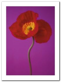 Red Poppy plakat obraz 60x80cm