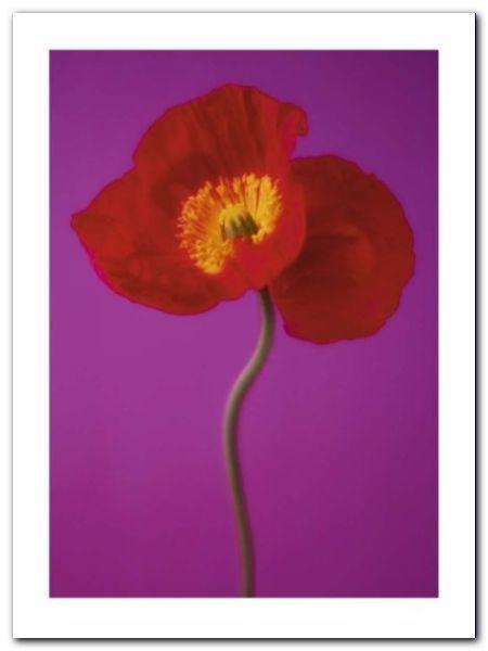Red Poppy plakat obraz 60x80cm (1)