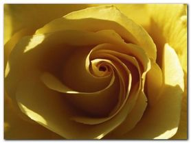 Yellow Rose plakat obraz 80x60cm