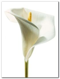 Lily In Bloom I plakat obraz 60x80cm