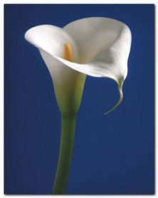 Calla On Blue I plakat obraz 24x30cm