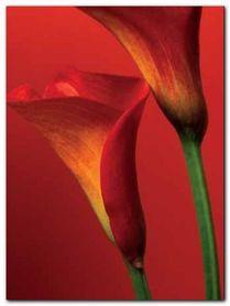 Red Calla Lilies plakat obraz 60x80cm