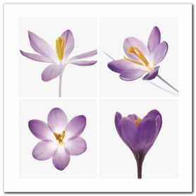 Four Crocuses plakat obraz 30x30cm